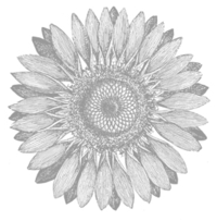 Sunflower 123608L